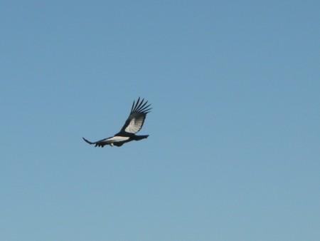 Der Kondor hat uns bemerkt und wohl schon seine nächste Mahlzeit vor Augen gehabt als er sehr sehr nah auf unserer Höhe seine Runden drehte
