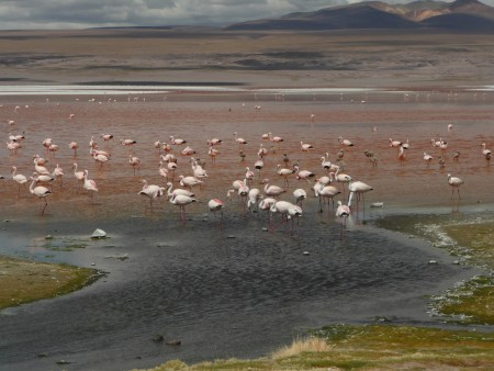 Flamingos an der Laguna Colorada