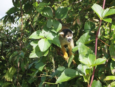 Yellow squirrel monkey