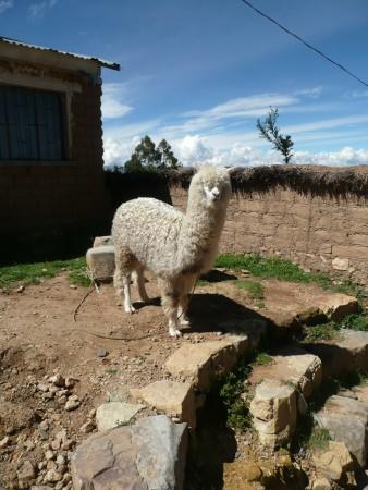 Dorf-llama