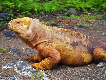 Land Iguana, einmal in Gelb