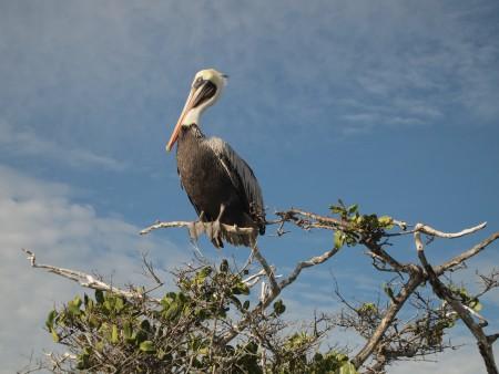 Pelikan geniesst die Aussicht