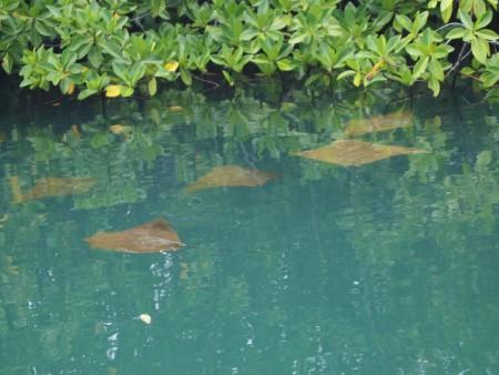 Golden cownose Rays beim cruisen