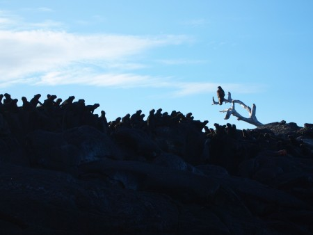 Galapagos-Hawk, der einzige Raubvogel